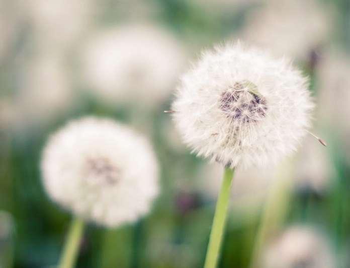 φυτά για αλλεργίες