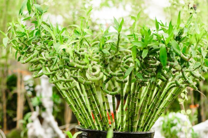 φυτά για καλοτυχία μπαμπού