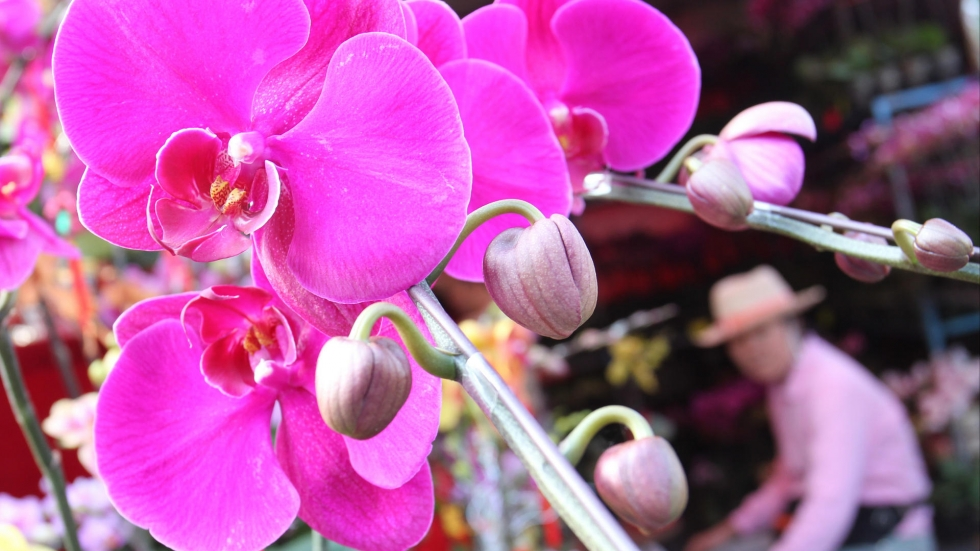 φυτά για καλοτυχία ορχιδέα