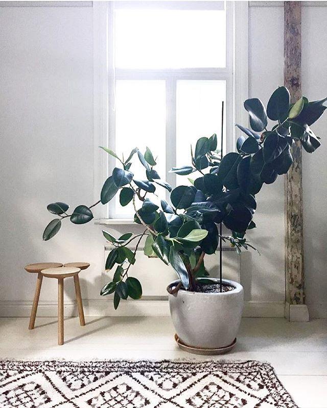 φυτά για καλοτυχία φίκος