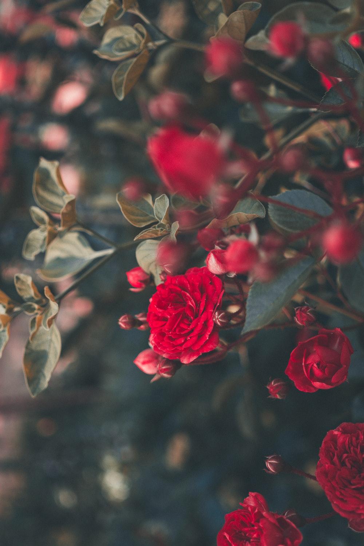 τα καλύτερα τριαντάφυλλα στον κόσμο