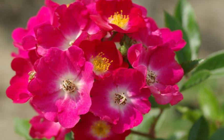 τριαντάφυλλα Ballerina