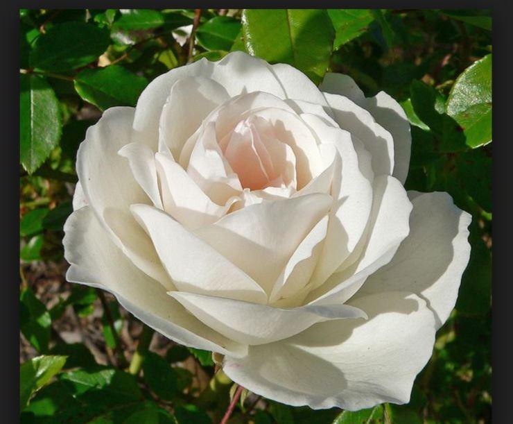 τριαντάφυλλα Iceberg