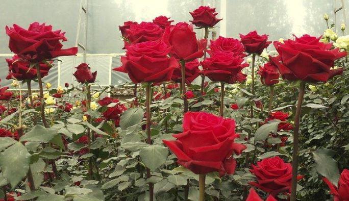 τριαντάφυλλο Εκουαδόρ