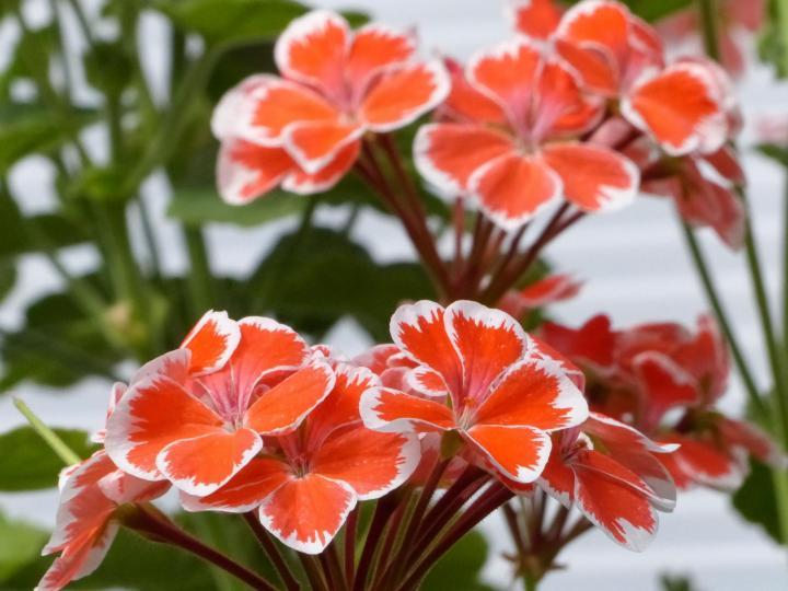 φυτά εξωτερικού χώρου γεράνια