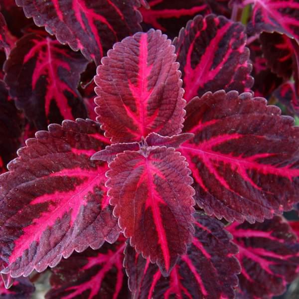 φυτά εξωτερικού χώρου κολεός