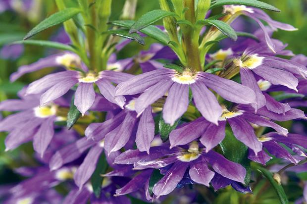 φυτά εξωτερικού χώρου σκαιβόλα