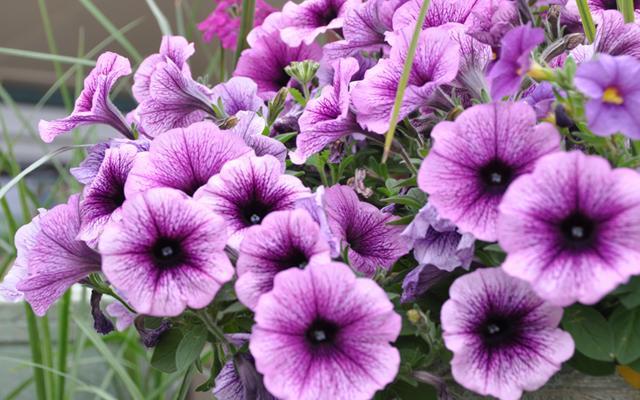 φυτά εξωτερικού χώρου πετούνιες