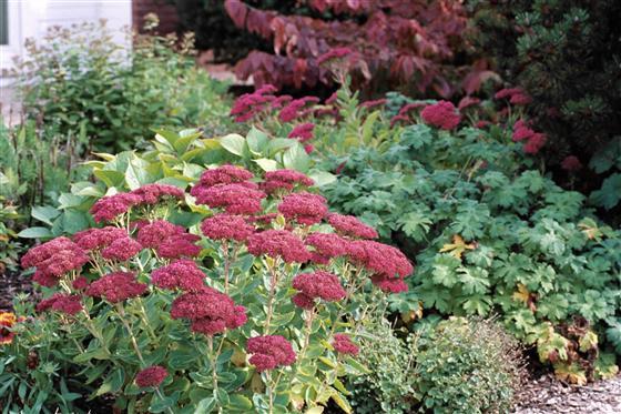 φυτά εξωτερικού χώρου σέδος