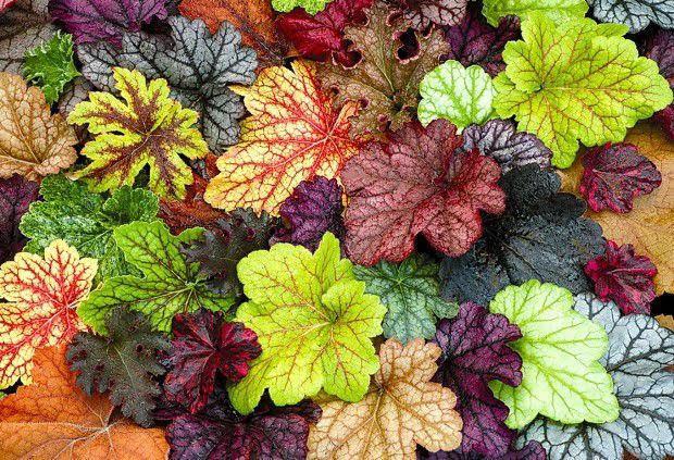 φυτά εξωτερικού χώρου εουχέρα