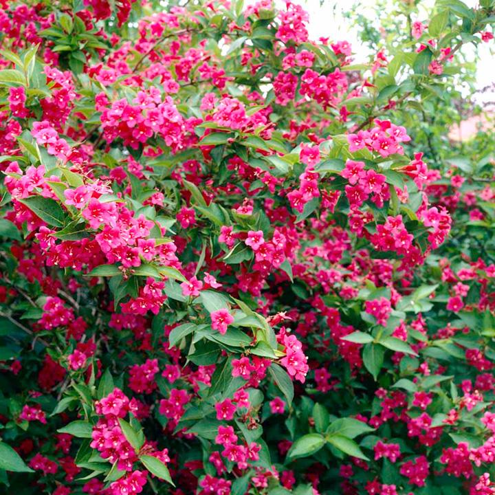φυτά εξωτερικού χώρου βεϊγκέλια