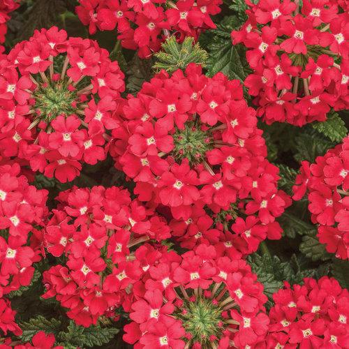 φυτά εξωτερικού χώρου βερβένα