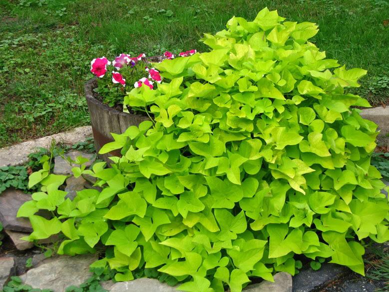 φυτά εξωτερικού χώρου γλυκοπατάτα αναρριχώμενη