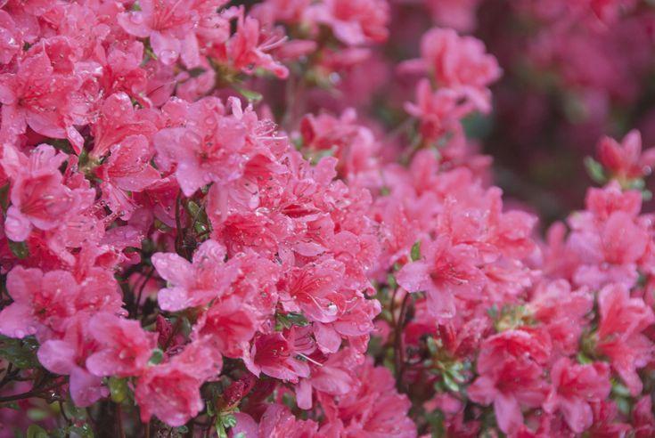 λουλούδια που απολαμβάνουν οι αλλεργικοί αζαλέα