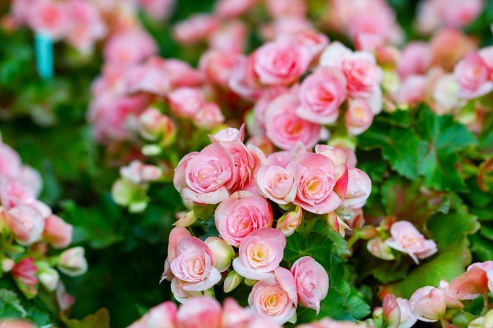 λουλούδια που απολαμβάνουν οι αλλεργικοί βεγονία