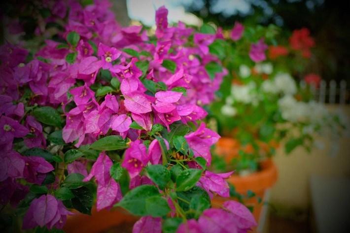 λουλούδια που απολαμβάνουν οι αλλεργικοί μπουκαμβίλια