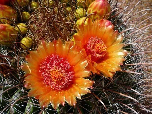 λουλούδια που απολαμβάνουν οι αλλεργικοί κάκτοι