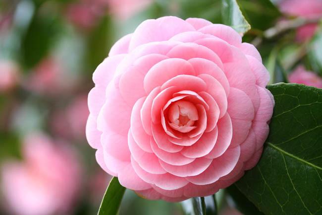 λουλούδια που απολαμβάνουν οι αλλεργικοί καμέλιες