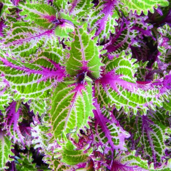 λουλούδια που απολαμβάνουν οι αλλεργικοί κολεός