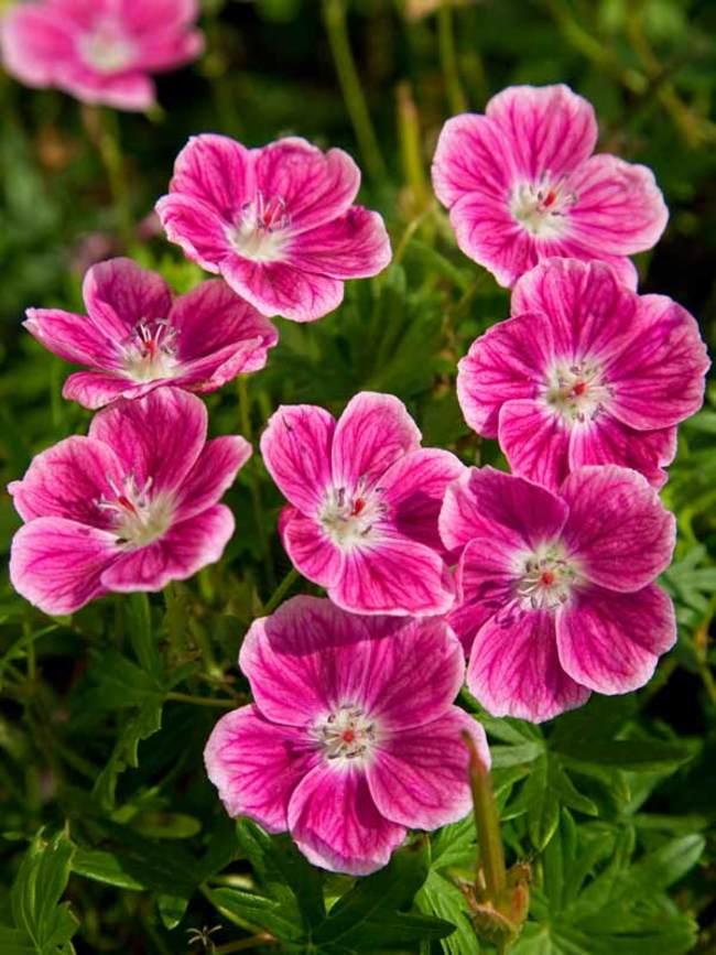 λουλούδια που απολαμβάνουν οι αλλεργικοί γεράνια